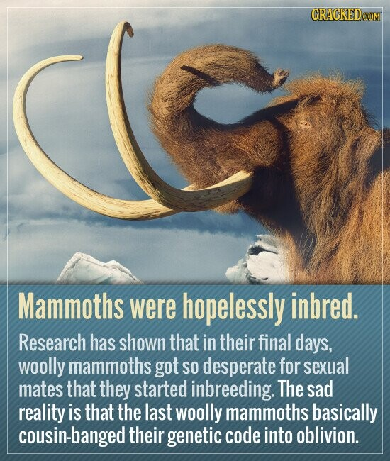 Mammoths were hopelessly inbred. Research has shown that in their final days, woolly mammoths got SO desperate for sexual mates that they started inbreeding. The sad reality is that the last woolly mammoths basically cousin-banged their genetic code into oblivion.