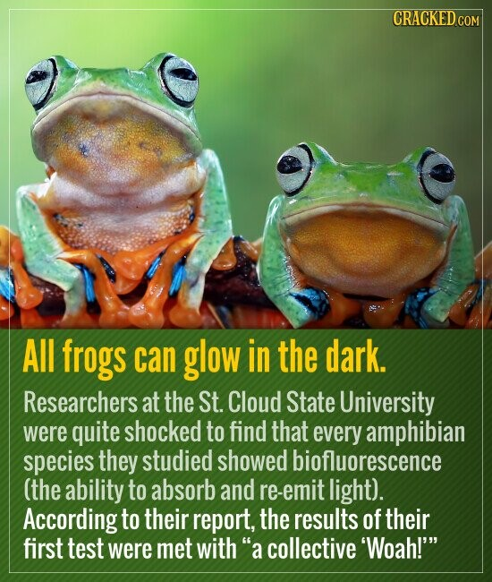 All frogs can glow in the dark. Researchers at the St. Cloud State University were quite shocked to find that every amphibian species they studied showed biofluorescence (the ability to absorb and re-emit light). According to their report, the results of their first test were met with a collective