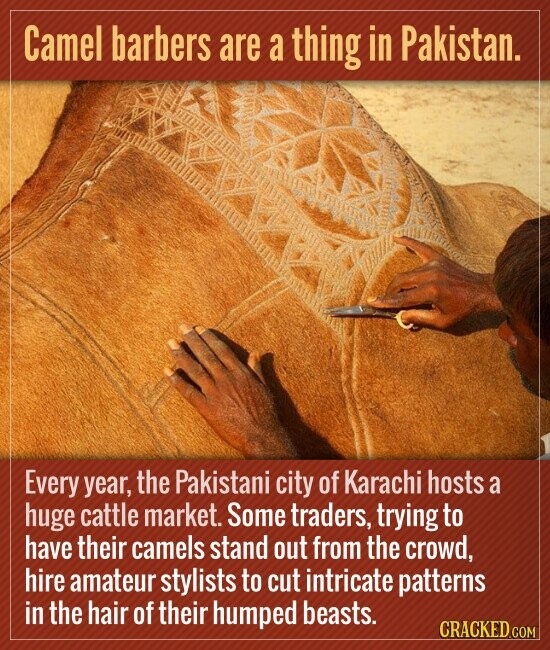Camel barbers are a thing in Pakistan. Every year, the Pakistani city of Karachi hosts a huge cattle market. Some traders, trying to have their camels stand out from the crowd, hire amateur stylists to cut intricate patterns in the hair of their humped beasts. CRACKED COM