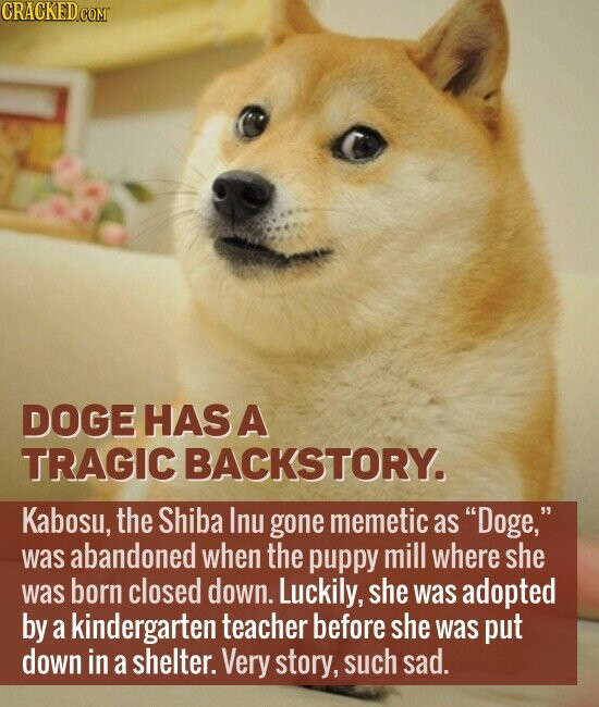 DOGE HAS A TRAGIC BACKSTORY. Kabosu, the Shiba Inu gone memetic as Doge, was abandoned when the puppy mill where she was born closed down. Luckily, she was adopted by a kindergarten teacher before she was put down in a shelter. Very story, such sad.