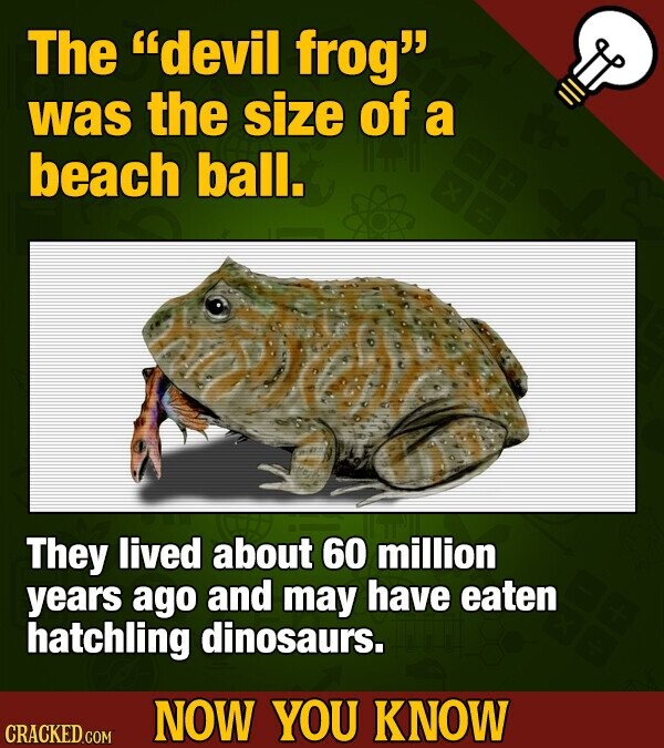 The devil frog was the size of a beach ball. They lived about 60 million years ago and may have eaten hatchling dinosaurs. NOW YOU KNOW CRACKED GOM