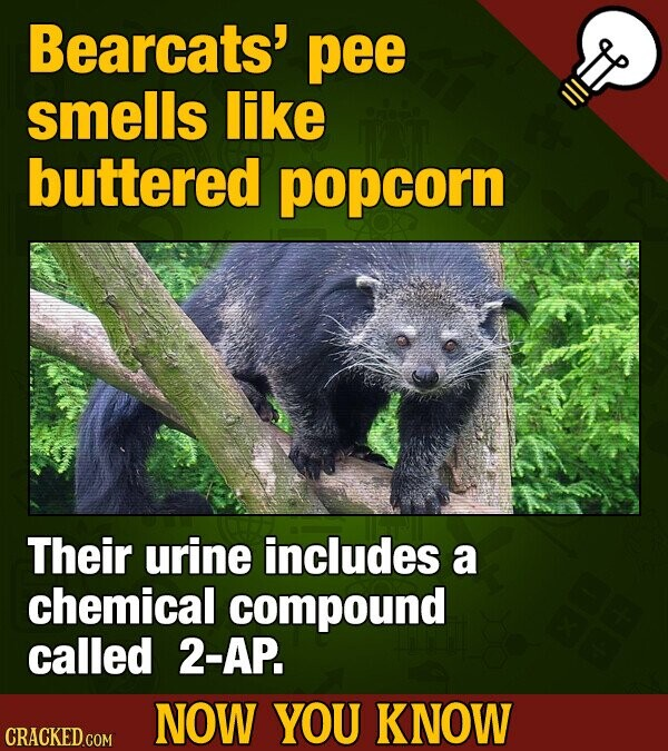 Bearcats' pee smells like buttered popcorn Their urine includes a chemical compound called 2-AP. NOW YOU KNOW CRACKED COM