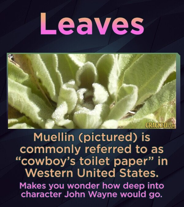 Leaves Muellin (pictured) is commonly referred to as cowboy's toilet paper in Western United States. Makes you wonder how deep into character John W