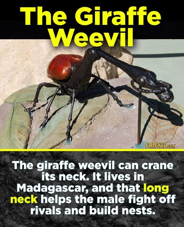 The Giraffe Weevil CRACKEDCOR The giraffe weevil can crane its neck. It lives in Madagascar, and that long neck helps the male fight off rivals and build nests.