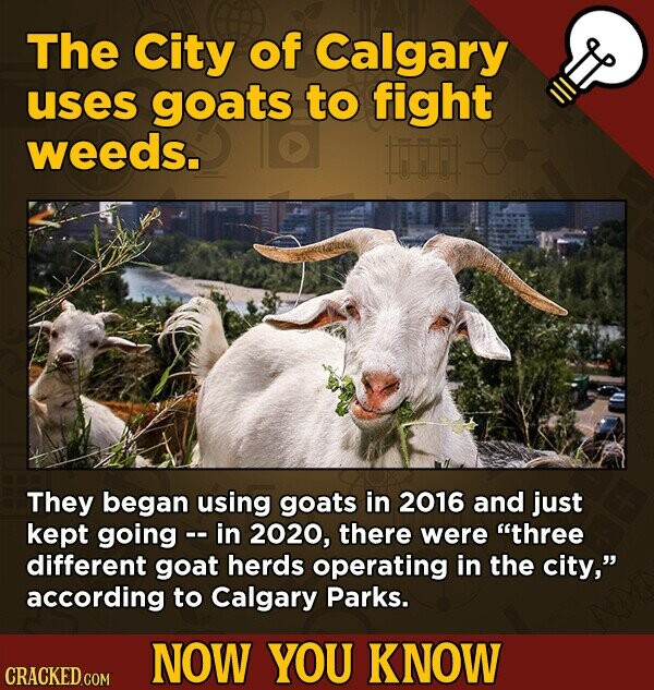 The City of Calgary uses goats to fight weeds. ii They began using goats in 2016 and just kept going - in 2020, there were three different goat herds operating in the city, according to Calgary Parks. NOW YOU KNOW