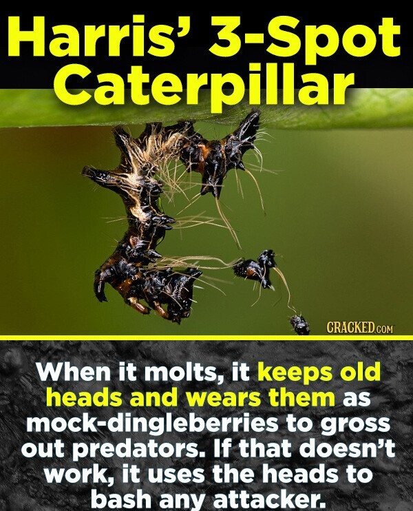 Harris' 3-Spot Caterpillar CRACKED COM When it molts, it keeps old heads and wears them as mock-dingleberries to gross out predators. If that doesn't work, it uses the heads to bash any attacker.