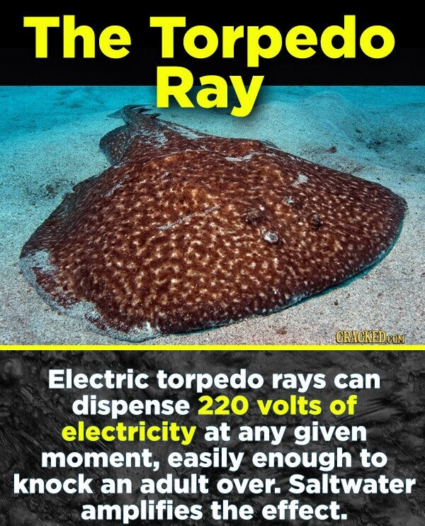 The Torpedo Ray CRACKEDCO Electric torpedo rays can dispense 220 volts of electricity at any given moment, easily enough to knock an adult over. Saltwater amplifies the effect.