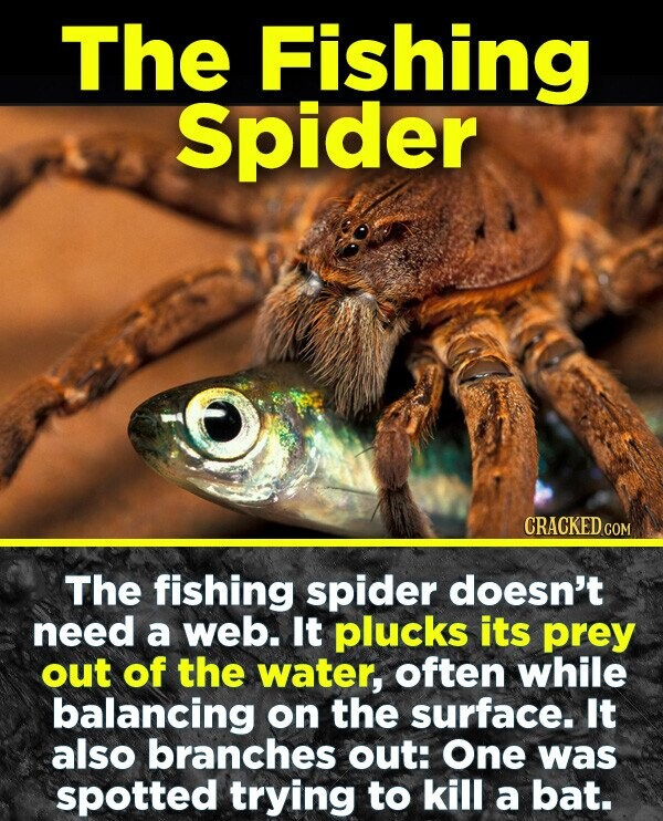 The Fishing Spider CRACKED COM The fishing spider doesn't need a web. It plucks its prey ouT of the water, often while balancing on the surface. It also branches out: One was spotted trying to kill a bat.