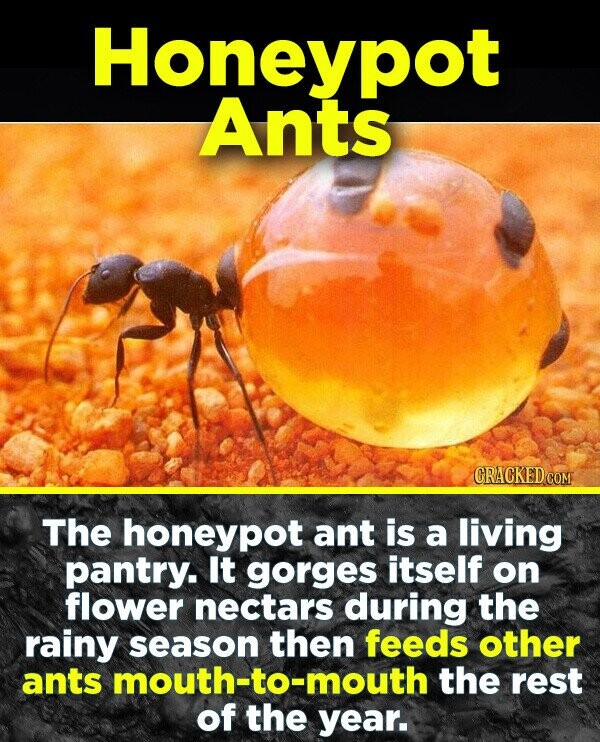 Honeypot Ants The honeypot ant is a living pantry. It gorges itself on flower nectars during the rainy season then feeds other ants mouth-to-mouth the rest of the year.