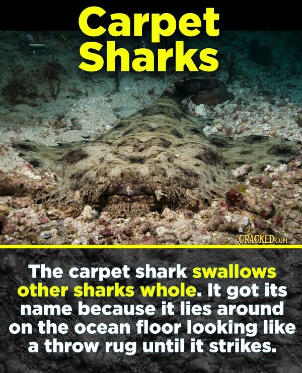 Carpet Sharks CRACKED cO COM The carpet shark swallows other sharks whole. It got its name because it lies around on the ocean floor looking like a throw rug until it strikes.