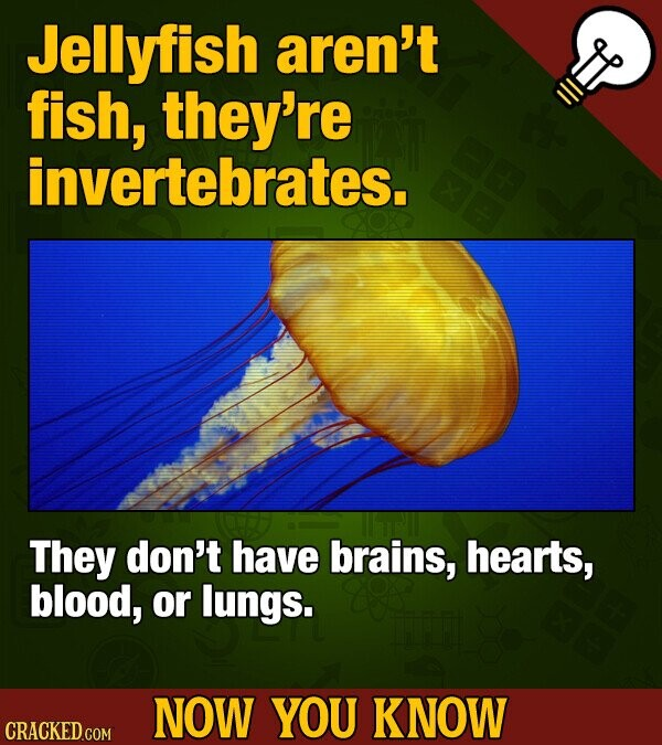 Jellyfish aren't fish, they're invertebrates. They don't have brains, hearts, blood, or lungs. NOW YOU KNOW CRACKED COM