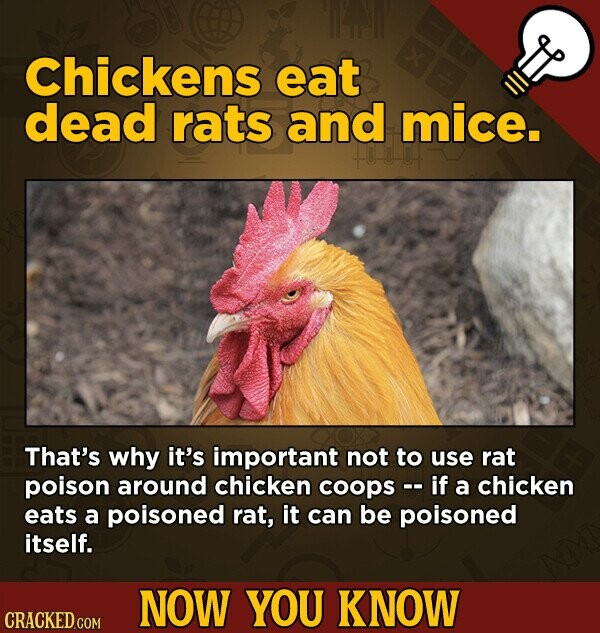Chickens eat dead rats and mice. That's why it's important not to use rat poison around chicken coops -. if a chicken eats a poisoned rat, it can be poisoned itself. NOW YOU KNOW CRACKED.COM