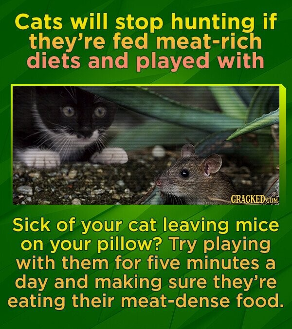 Cats will stop hunting if they're fed meat-rich diets and played with CRACKEDeO Sick of your cat leaving mice on your pillow? Try playing with them for five minutes a day and making sure they're eating their meat-dense food.