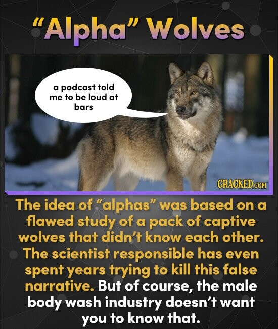 Alpha Wolves a podcast told me to be loud at bars CRACKED co COM The idea of alphas was based on a flawed study of a pack of captive wolves that d