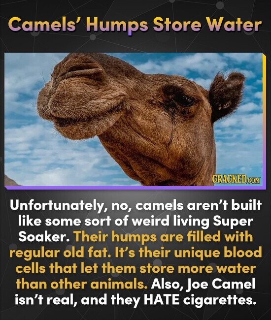 Camels' Humps Store Water CRACKEDCO COM Unfortunately, no, camels aren't built like some sort of weird living Super Soaker. Their humps are filled wit