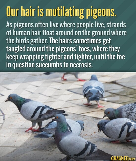Our hair is mutilating pigeons. As pigeons often live where people live, strands of human hair float around on the ground where the birds gather. The hairs sometimes get tangled around the pigeons' toes, where they keep wrapping tighter and tighter, until the toe in question succumbs to necrosis.