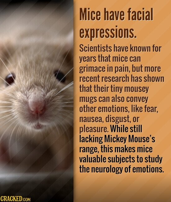 Mice have facial expressions. Scientists have known for years that mice can grimace in pain, but more recent research has shown that their tiny mousey mugs CAN also convey other emotions, like fear, nausea, disgust, or pleasure. While still lacking Mickey Mouse's range, this makes mice valuable subjects to study