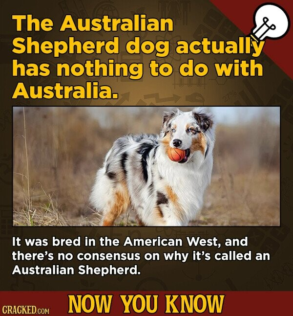 The Australian Shepherd dog actually has nothing to do with Australia. It was bred in the American West, and there's no consensus on why it's called an Australian Shepherd. NOW YOU KNOW