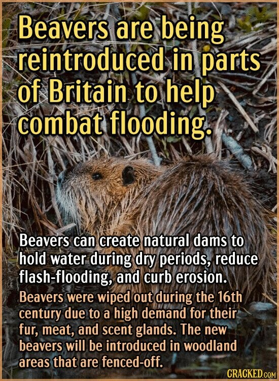 Beavers are being reintroduceds in parts of Britain to help combat flooding. Beavers can create natural dams to hold water during dry periods, reduce