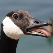CanadianGoose
