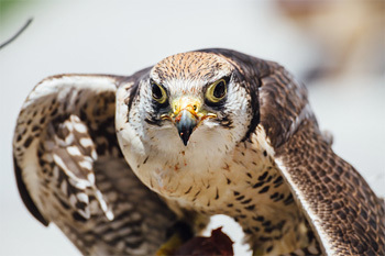 5 Reasons Hunting With Hawks Is Shockingly Awesome And Gross