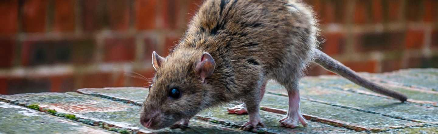 6 Creepy Realities Of The (Shockingly Real) Rat Hunting Game