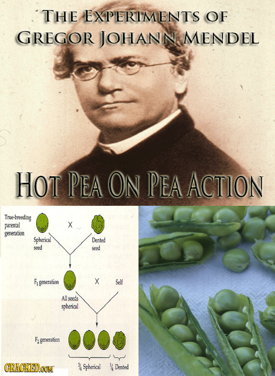 THE EXPERIMENTS OF GREGOR JOHANN MENDEL HOT PEA ON PEA ACTION True-breeding parental X generation Spherical Dented seed seed F generation X Self All s
