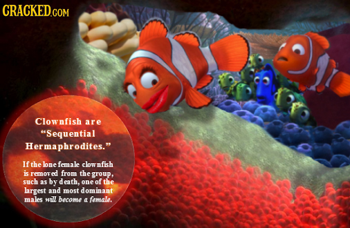 CRACKED.COM Clownfish are Sequential Hermaphrodites. If the lonefemale clow nfish i removed from the group, such 35 by death, one of the largest and