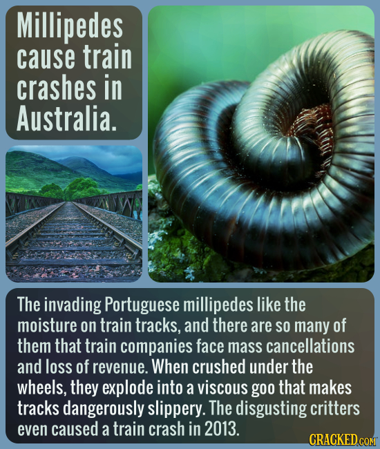 Millipedes cause train crashes in Australia. The invading Portuguese millipedes like the moisture on train tracks, and there are SO many of them that