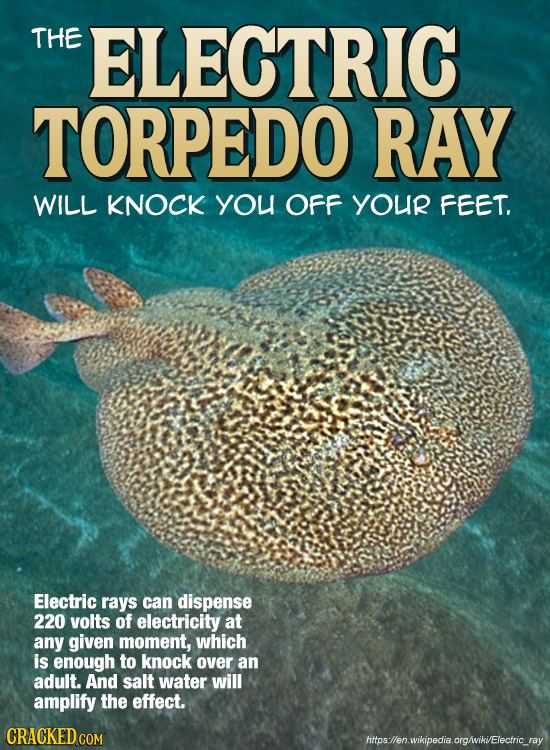 THE ELECTRIC TORPEDO RAY WILL KNOCK yOU OFF YOUR FEET. Electric rays can dispense 220 volts of electricity at any given moment, which is enough to kno
