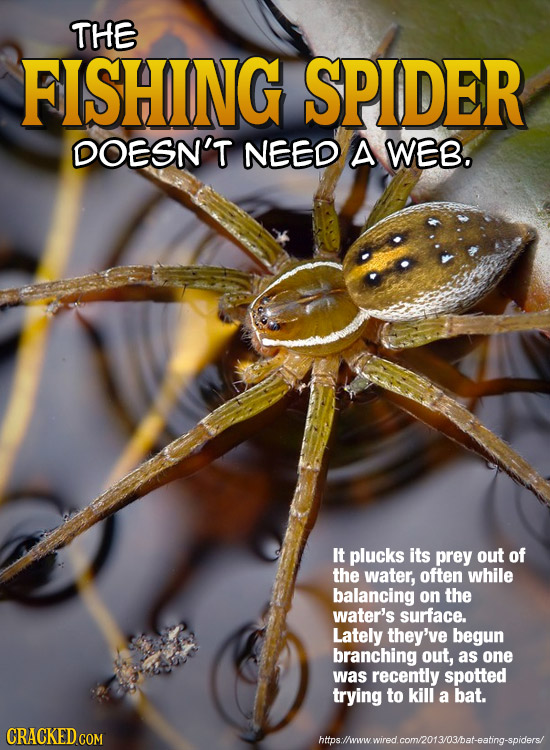 THE FISHING SPIDER DOESN'T NEED A WEB. It plucks its prey out of the water, often while balancing on the water's surface. Lately they've begun branchi