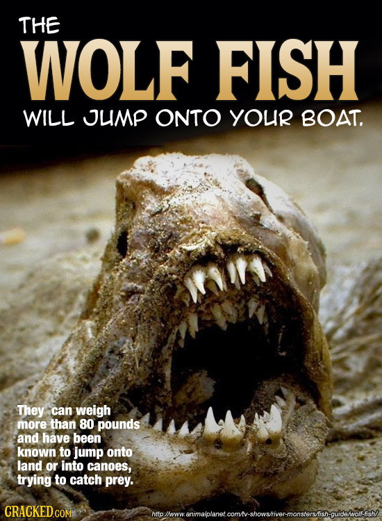 THE WOLF FISH WILL UMP ONTO YOUR BOAT. They can weigh more than 80 pounds and have been known to jump onto land or into canoes, trying to catch prey.