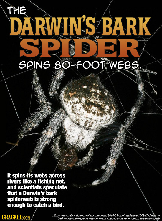 THE DARWIN'S BARK SPIDER SPINS 8O-FOOT WEBS.. IT spins its webs across rivers like a fishing net, and scientists speculate that a Darwin's bark spider