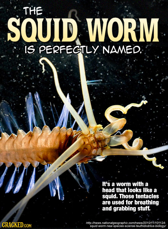 THE SQUID WORM IS PERFECTLY NAMED: It's a worm with a head that looks like a squid. Those tentacles are used for breathing and grabbing stuff. hto hew