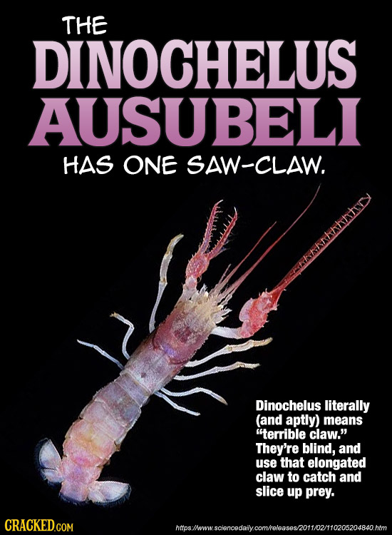 THE DINOCHELUS AUSUBELI HAS ONE SAW-CLAW. Dinochelus literally (and aptly) means terrible claw.' They're blind, and use that elongated claw to catch