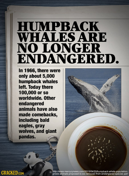 HUMPBACK WHALES ARE NO LONGER ENDANGERED. In 1966, there were only about 5,000 humpback whales left. Today there 100,000 or so worldwide. Other endang