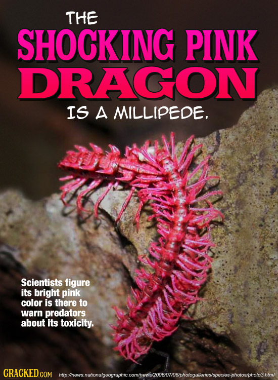 THE SHOCKING PINK DRAGON IS A MILLIPEDE. Scientists figure its bright pink color is there to warn predators about its toxicity. htolhesaatlenaloeoorao