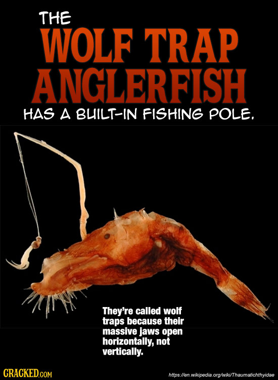 THE WOLF TRAP ANGLERFISH HAS A BUILT-IN FISHING POLE. They're called wolf traps because their massive jaws open horizontally, not vertically. https:ll