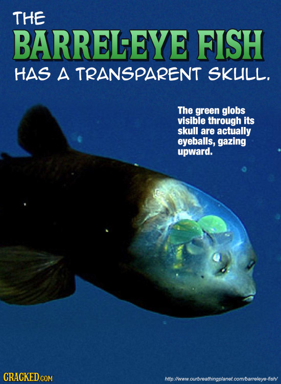 THE BARRELEYE FISH HAS A TRANSPARENT SKULL. The green globs visible through its skull are actually eyeballs, gazing upward. CRACKED COM htp:/lwww.ourb