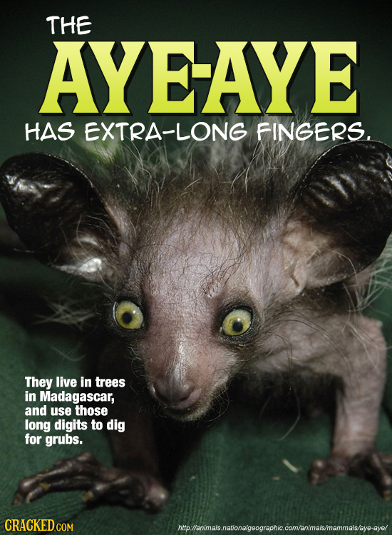 THE AYEAYE HAS EXTRA-LONG FINGERS. They live in trees in Madagascar, and use those long digits to dig for grubs. htoanimalsnationalgeographiccom/anima