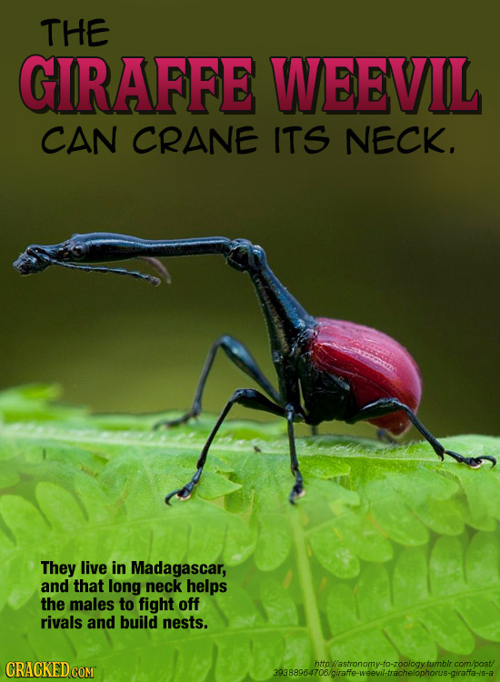 THE GIRAFFE WEEVIL CAN CRANE ITS NECK. They live in Madagascar, and that long neck helps the males to fight off rivals and build nests. CRACKED COMT 3