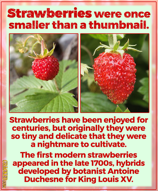 Strawberries were once smaller than a thumbnail. Strawberries have been enjoyed for centuries, but originally they were so tiny and delicate that they