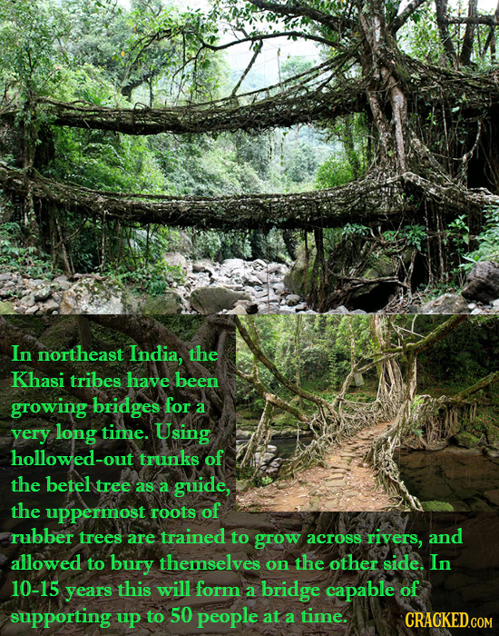 In northeast India, the Khasi tribes have been growing bridges for a very long time. Using hollowed-ou trunks of the betel tree as a guide, the upperm