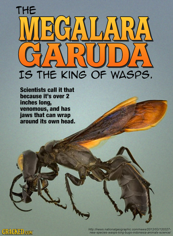 THE MEGALARA GARUDA IS THE KING OF WASPS. Scientists call it that because it's over 2 inches long, venomous, and has jaws that can wrap around its own