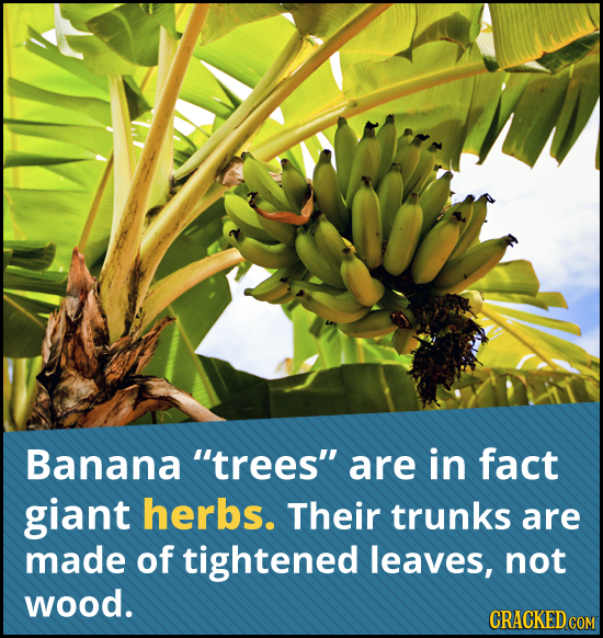 Banana trees are in fact giant herbs. Their trunks are made of tightened leaves, not wood. CRACKED COM