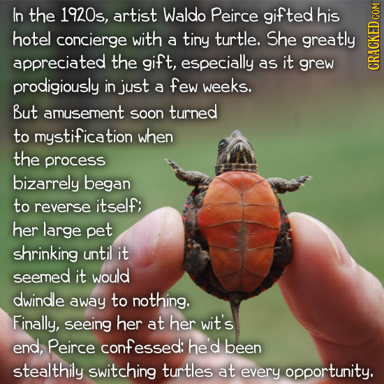 In the 1920s, artist Waldo Peirce gifted his hotel concierge with a tiny turtle. She greatly appreciated the gift, especially as it grew prodigiously