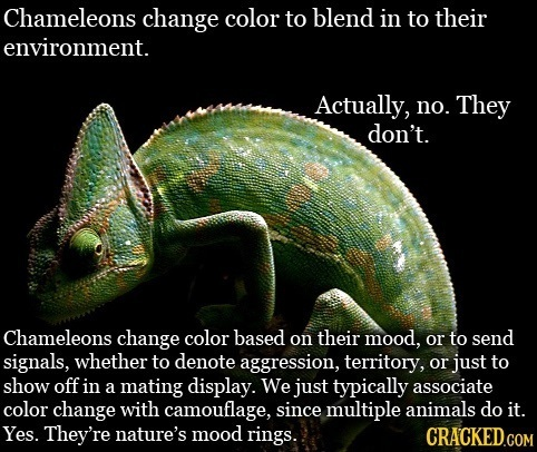 Chameleons change color to blend in to their environment. Actually, no. They don't. Chameleons change color based on their mood, or to send signals, w