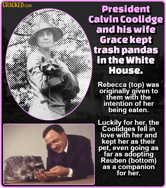 CRACKED C COM President Calvin Coolidge and his wife Grace kept trash pandas in the White House. Rebecca (top) was originally given to them with the i