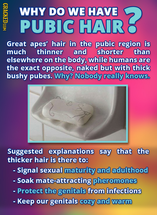 HDAO WHY DO WE HAVE ? PUBIC HAIR Great apes' hair in the pubic region is much thinner and shorter than elsewhere on the body, while humans are the exa