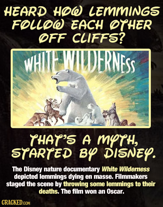 HEARD HOW LEMMINGS FOLLOW EACH OTHER OFF CLIFFS? WHIWWAIDDERNESS THAT'S A MYTH, STARTED BY DISNEY. The Disney nature documentary White Wildemess depic
